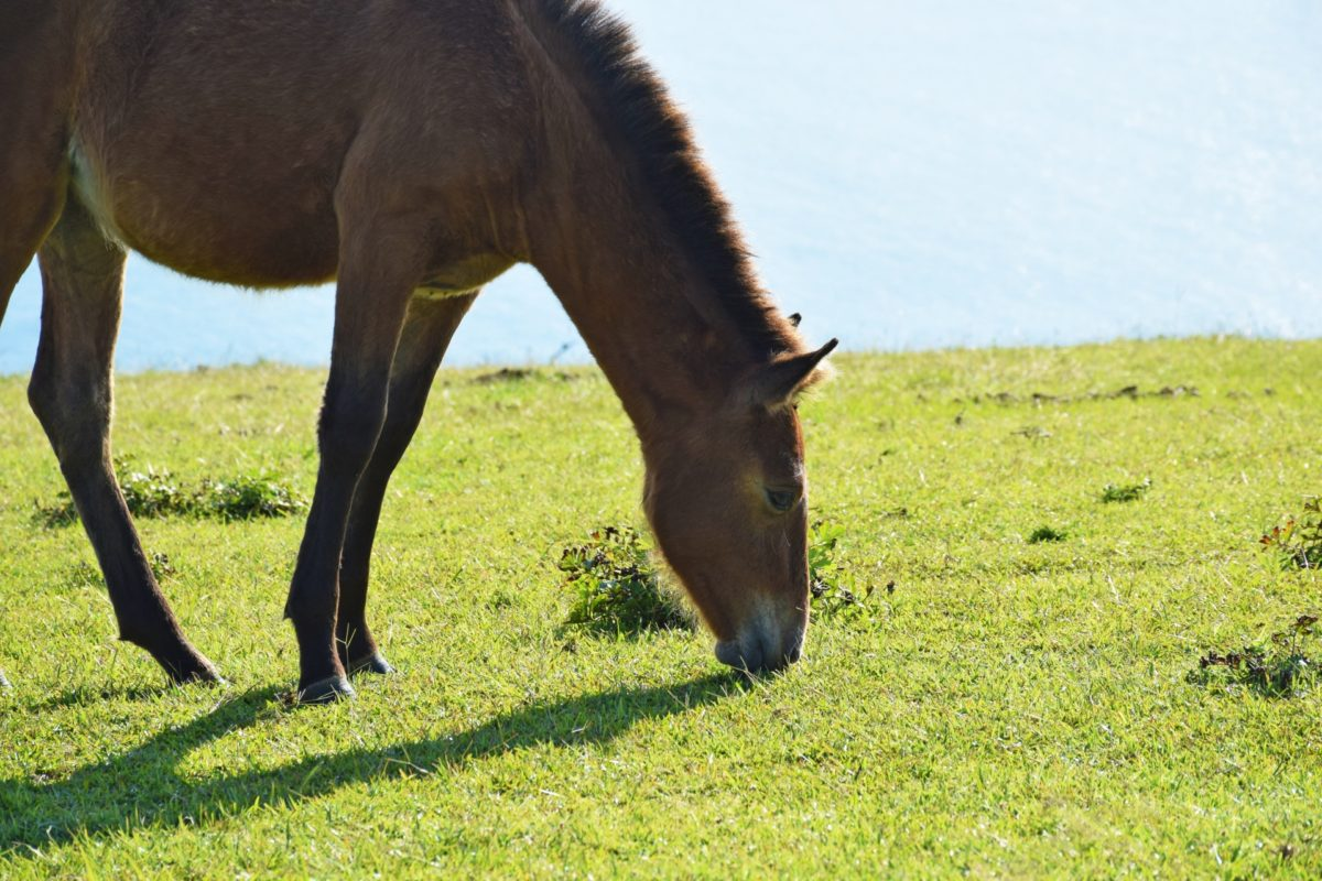 動物好きに伝えたい!日本唯一の野生馬「岬馬」の波乱万丈な歴史